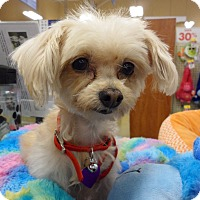 Adopt A Pet :: Goldie - Costa Mesa, CA
