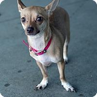 Adopt A Pet :: Coco - Berkeley, CA