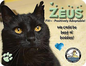 Domestic Shorthair Cat for adoption in Davenport, Iowa - Zeus FIV +