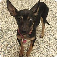 Adopt A Pet :: Merleigha - Golden, CO