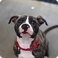Adopt A Pet :: BRUNO - Pittsburgh, PA