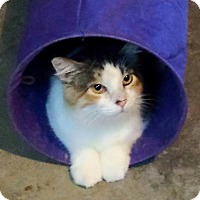 Domestic Shorthair Cat for adoption in Rochester, Minnesota - Mandy
