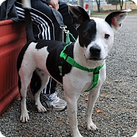 Pit Bull Terrier Mix Dog for adoption in Hayden, Idaho - Chloe