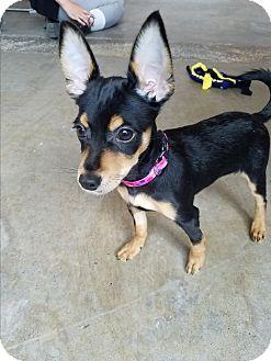 Miniature Pinscher Mix Puppy for adoption in Seattle, Washington - Avalon