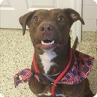 Labrador Retriever Mix Dog for adoption in St. Louis, Missouri - Gracie
