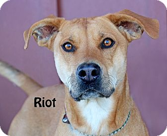 Carolina Dog Mix Dog for adoption in Idaho Falls, Idaho - Riot