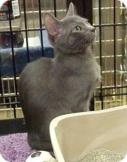 Russian Blue Kitten for adoption in Hallandale, Florida - Lyric