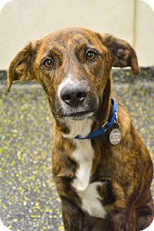 Mountain Cur Mix Dog for adoption in New York, New York - Cooper