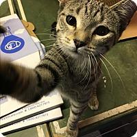 Domestic Shorthair Kitten for adoption in Butner, North Carolina - Garnet
