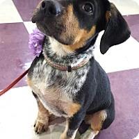 Adopt A Pet :: Nola - LITTLETON, CO