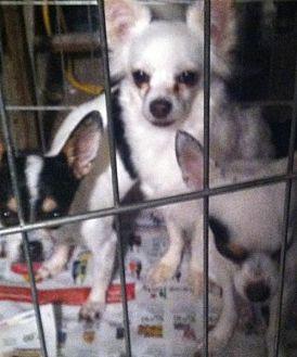 Chihuahua Dog for adoption in Tonopah, Arizona - SISTERS