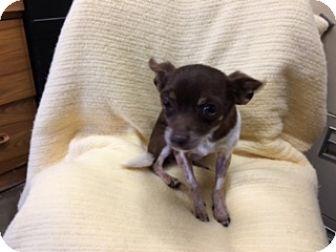Chihuahua Dog for adoption in Elk Grove, California - CARMELLO