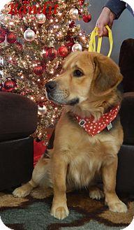 Golden Retriever/Coonhound Mix Dog for adoption in Bucyrus, Ohio - Bandit
