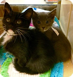 Domestic Shorthair Kitten for adoption in Lake Elsinore, California - Jasper & Tyke