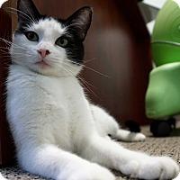 Domestic Shorthair Cat for adoption in Bethesda, Maryland - Panda