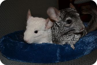 Chinchilla for adoption in Patchogue, New York - Lion-O
