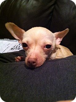 Chihuahua Dog for adoption in Chicago, Illinois - PINKY