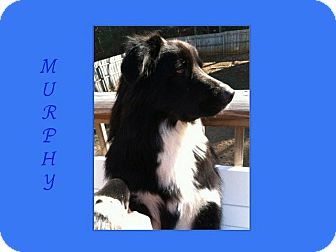 Border Collie/Border Collie Mix Dog for adoption in Dallas, North Carolina - MURPHY