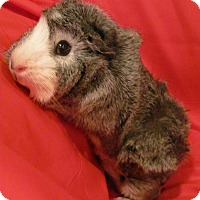 Adopt A Pet :: Gracie - Williston, FL