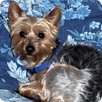 Adopt A Pet :: Mozart - Sinking Spring, PA