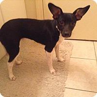Adopt A Pet :: Pebbles - Elkhart, IN