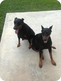 Doberman Pinscher Mix Dog for adoption in Coral Springs, Florida - Flora and Sienna