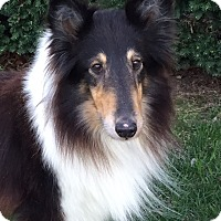 Adopt A Pet :: Shay - Mission, KS