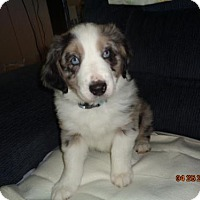 Adopt A Pet :: HAMILTON - currently in a foster home - Roanoke, VA