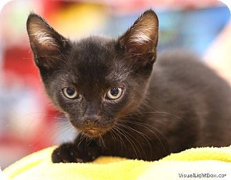 Domestic Shorthair Kitten for adoption in Westchester, California - Foxy