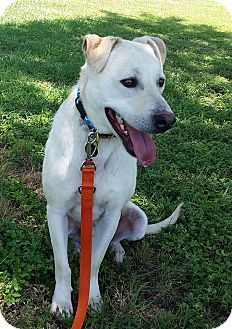 Labrador Retriever Mix Dog for adoption in Brattleboro, Vermont - Diaz