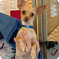 Adopt A Pet :: Misty - Thompson Falls, MT