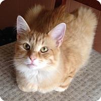 Domestic Mediumhair Cat for adoption in Warren, Michigan - Gavin