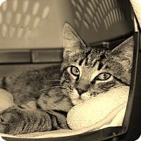 Domestic Shorthair Kitten for adoption in Middleton, Wisconsin - Lester