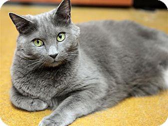 Domestic Shorthair Cat for adoption in Fairfax Station, Virginia - Rocky 2