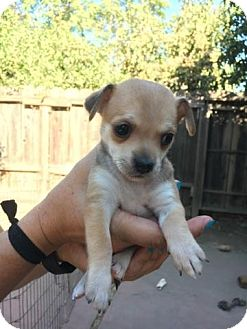 Rat Terrier/Chihuahua Mix Puppy for adoption in Lodi, California - Spice