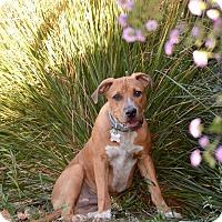 Adopt A Pet :: PUPPY - Cooper!! - Lincoln, CA