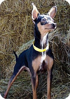 Chihuahua Mix Dog for adoption in Joplin, Missouri - Taquito