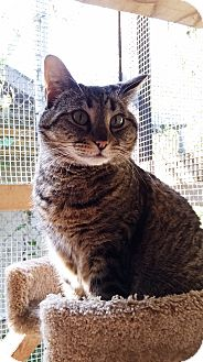 Domestic Shorthair Cat for adoption in Port Coquitlam, British Columbia - Helen