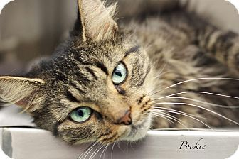 Domestic Mediumhair Cat for adoption in Hanna City, Illinois - Pookie