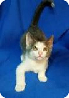 Domestic Shorthair Kitten for adoption in Newport, Kentucky - Leonardo