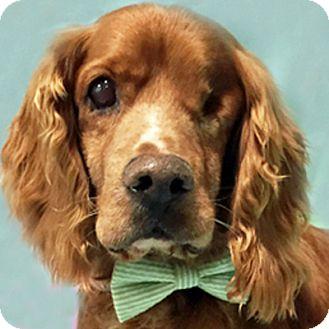 Cocker Spaniel Dog for adoption in Newington, Virginia - Kafu