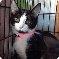 Adopt A Pet :: Bella Marie - Breinigsville, PA