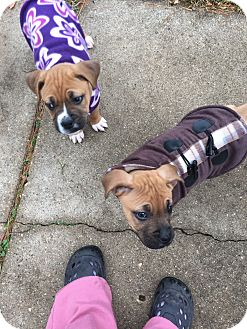 Boxer Mix Puppy for adoption in Wyoming, Michigan - Nemo and Dory