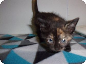 Domestic Shorthair Kitten for adoption in Springfield, Tennessee - Lizzy