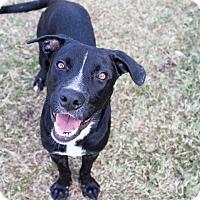 Adopt A Pet :: Antonio Banderas - Jersey City, NJ