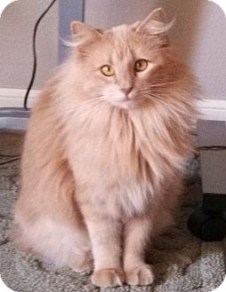 Domestic Longhair Cat for adoption in Bentonville, Arkansas - Regina