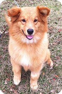 Golden Retriever/Sheltie, Shetland Sheepdog Mix Dog for adoption in Cheshire, Connecticut - Glory