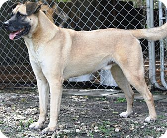 Boxer/Labrador Retriever Mix Dog for adoption in Miami, Florida - Ricky