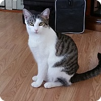 Domestic Shorthair Cat for adoption in Marietta, Georgia - Avon