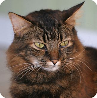Domestic Mediumhair Cat for adoption in North Fort Myers, Florida - Valentine
